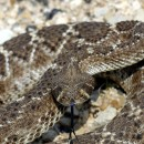 Desperately in the Desert and need food? Try Rattle Snake.